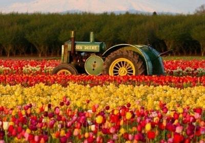 جشنوار گل لاله گچسر